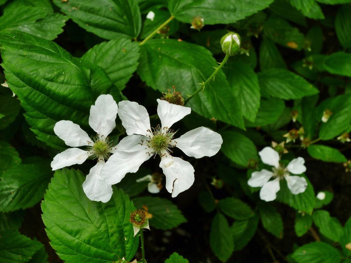 Blackberry plants in abundance