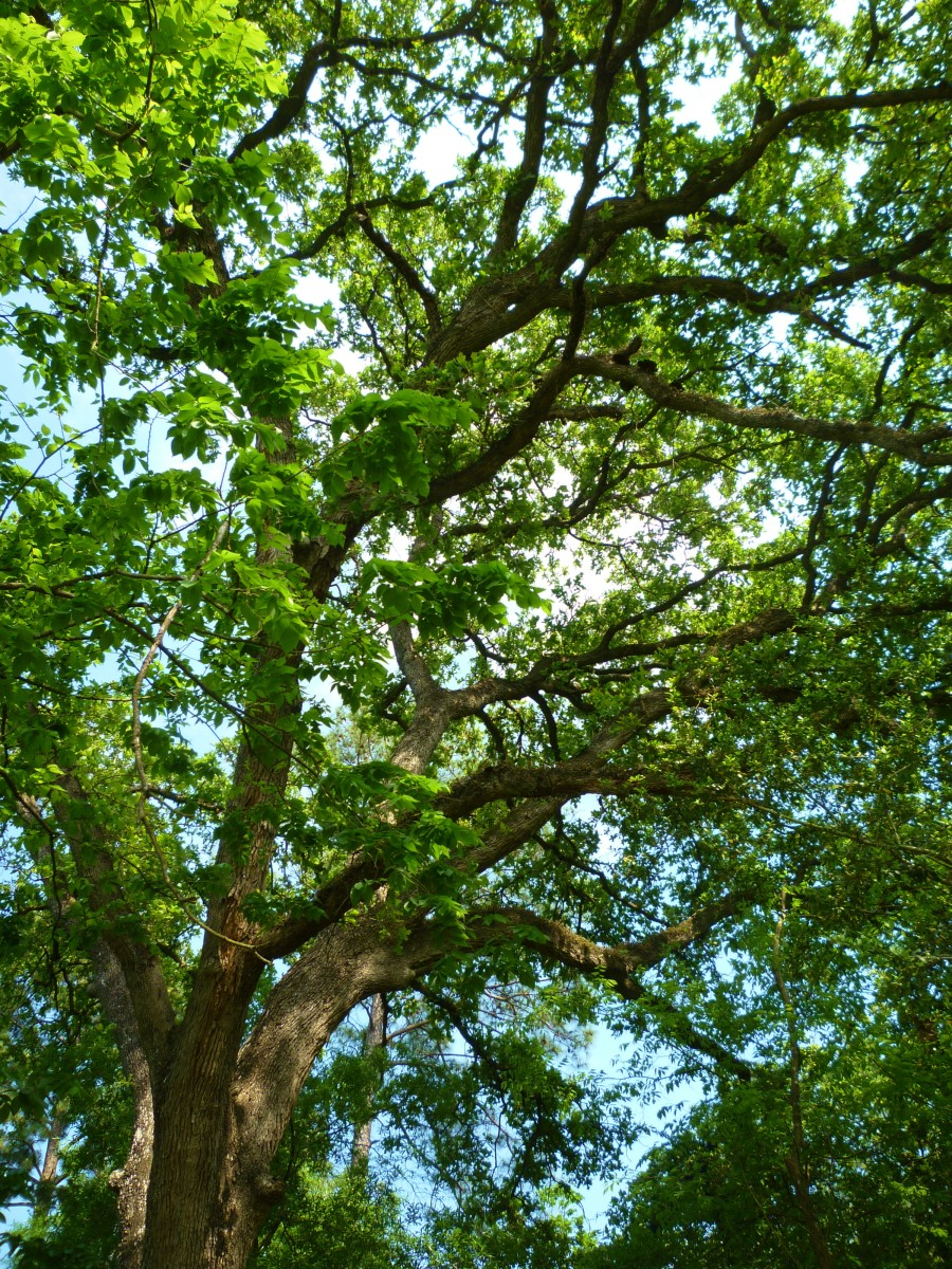 A Post Oak Tree at the Houston Arboretum can live up to 400 years.