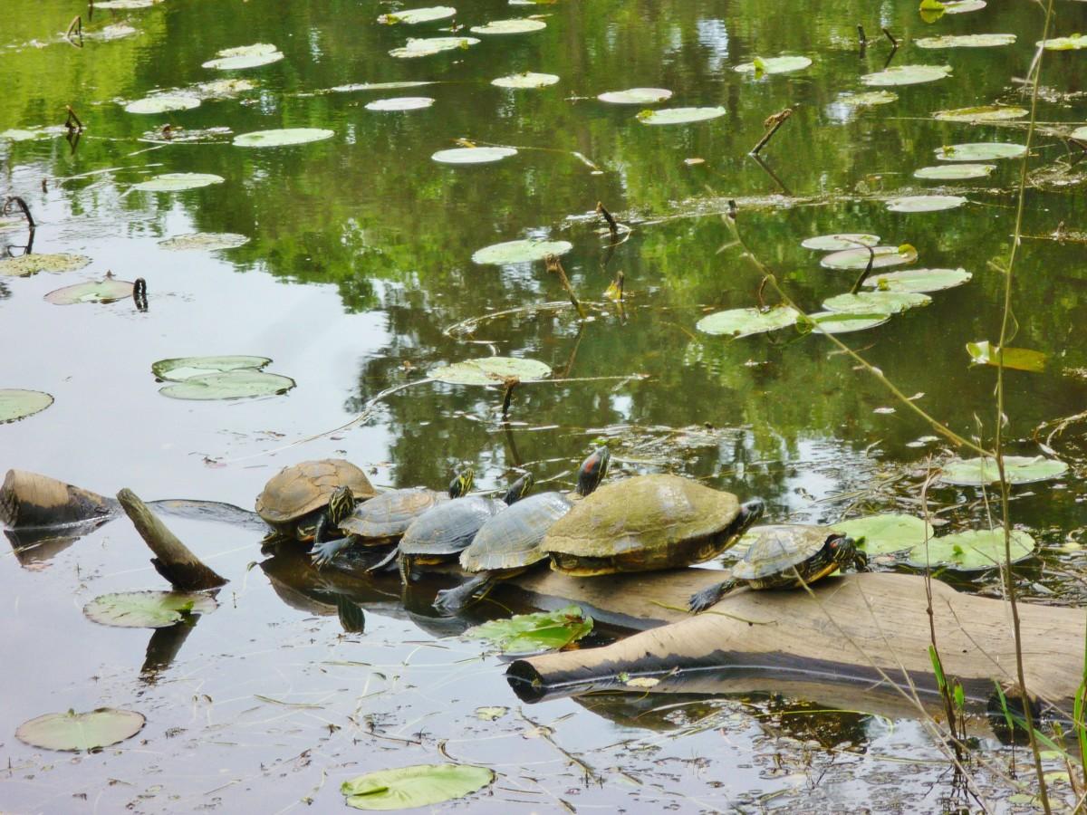 Turtles at Houston Arboretum