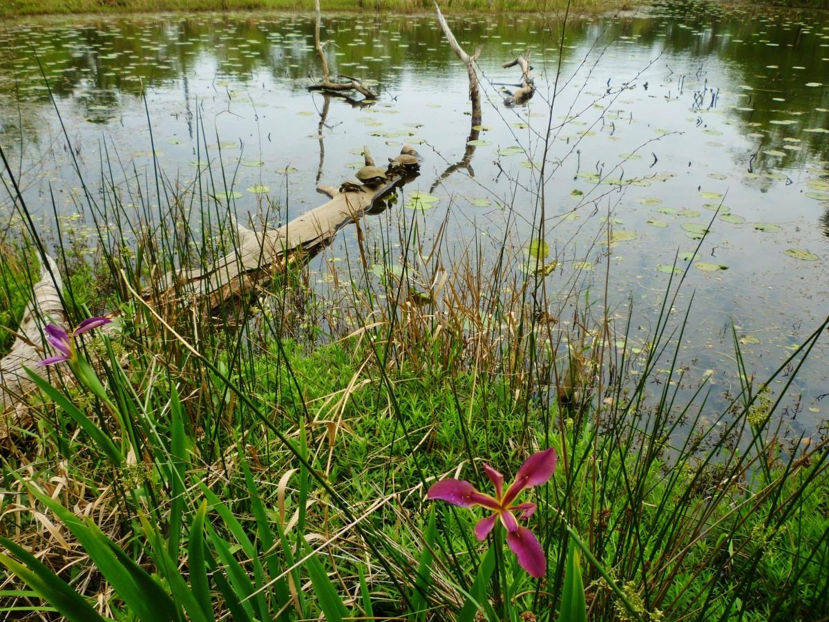 Iris in bloom at the Houston Arboretum
