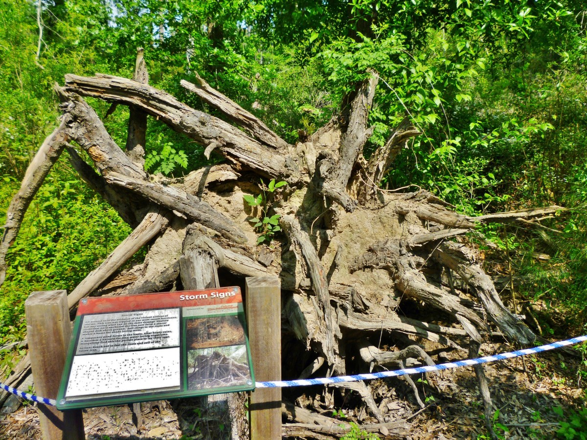 A toppled tree from a hurricane at Houston Arboretum