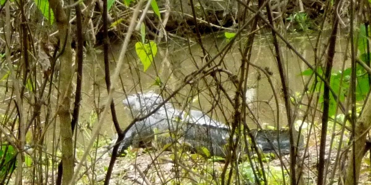 Alligator on banks of Oyster Creek Park Trail