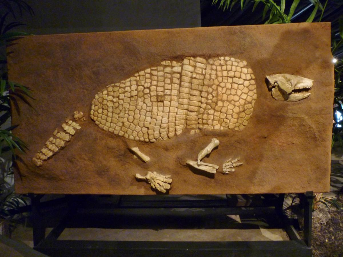 Giant Armadillo fossil Holmesina