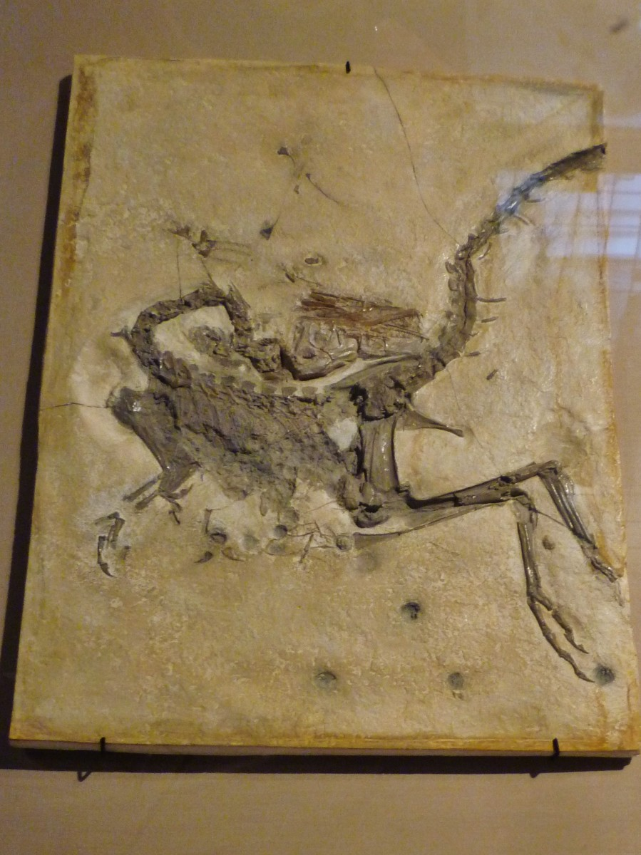 Small Theropod Dinosaur fossil from Late Jurassic