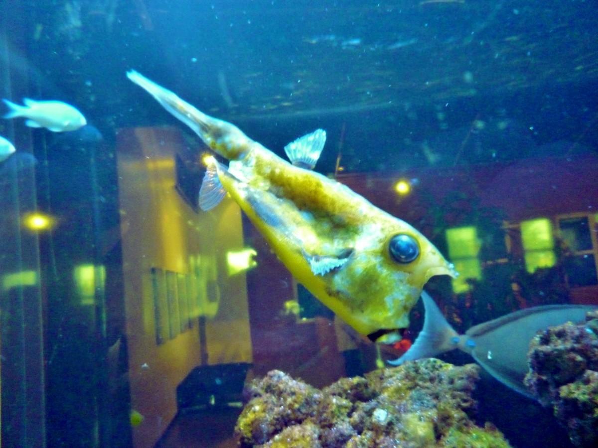Longhorned cowfish in aquarium