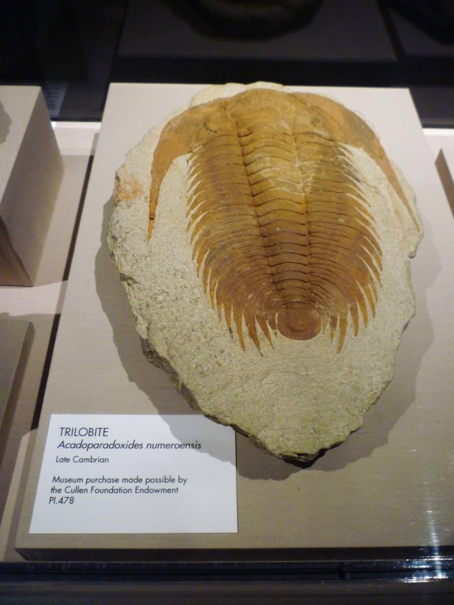 Trilobite – Late Cambrian