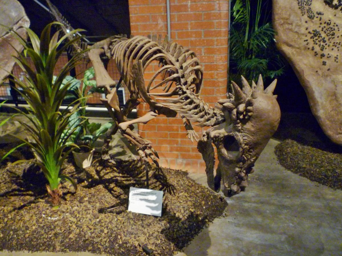 Pachycephalosaurus – The Butt Head Dinosaur – Late Cretaceous Lancian Age