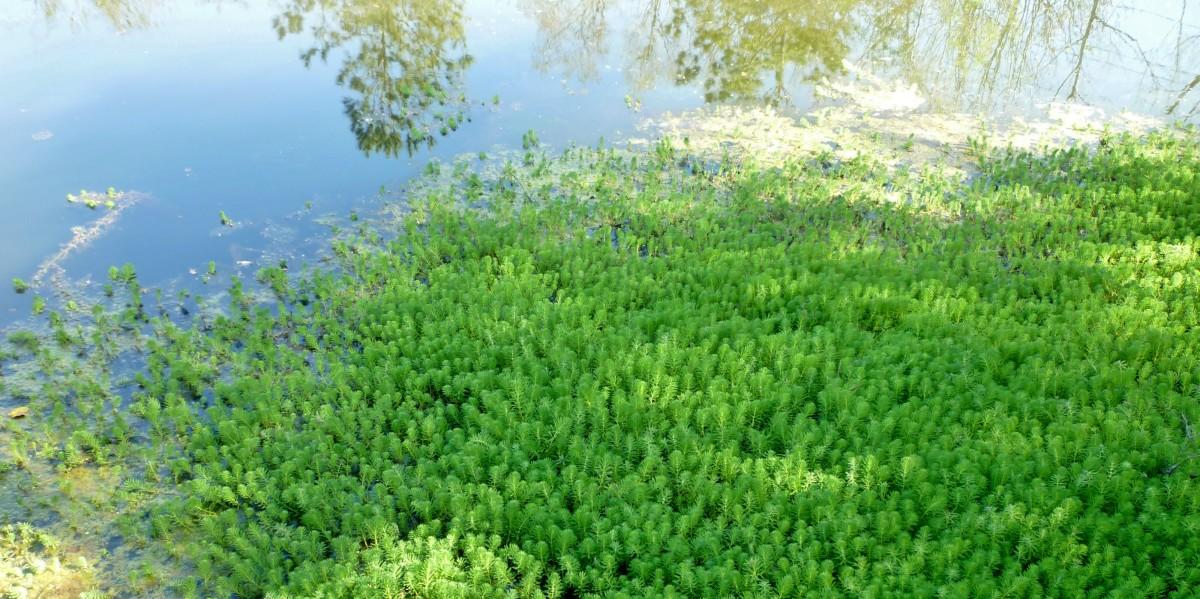 Aquatic vegetation in the pond