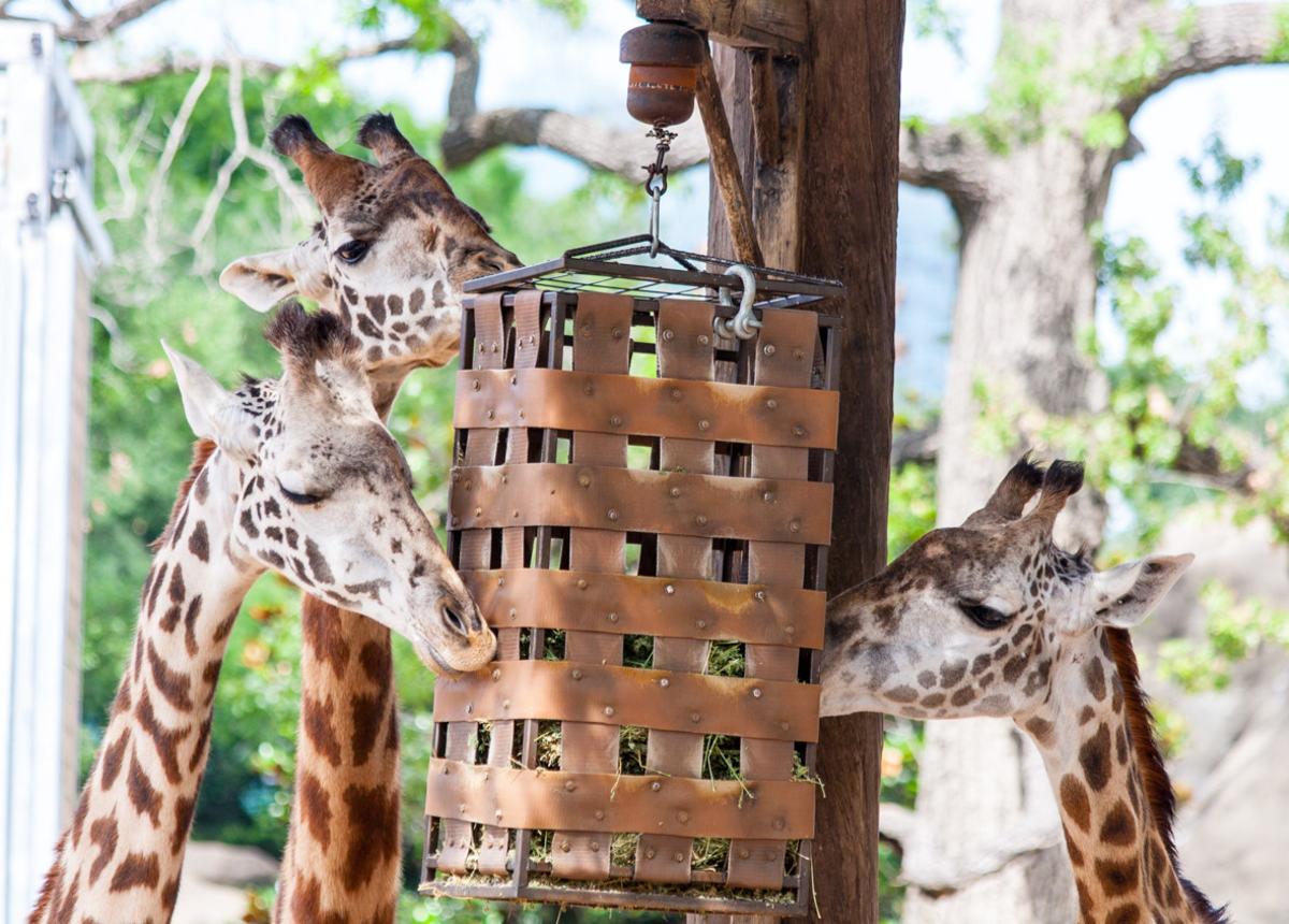 Giraffes feeding at Houston Zoo