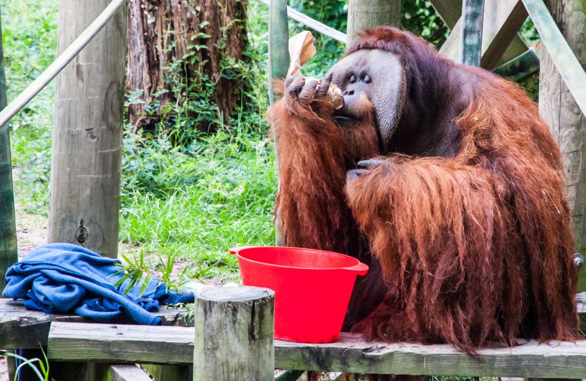 Orangutan at Houston Zoo