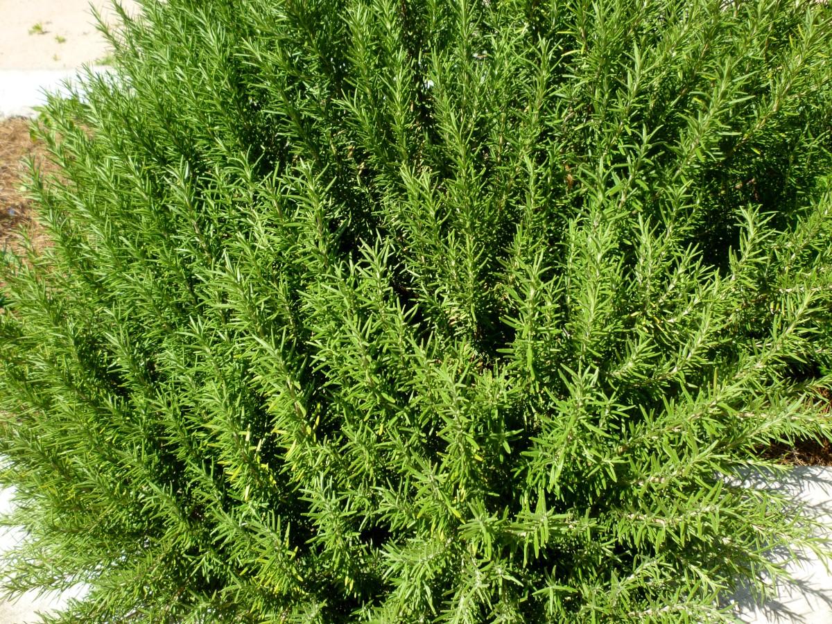 Rosemary grown in Mandell Park