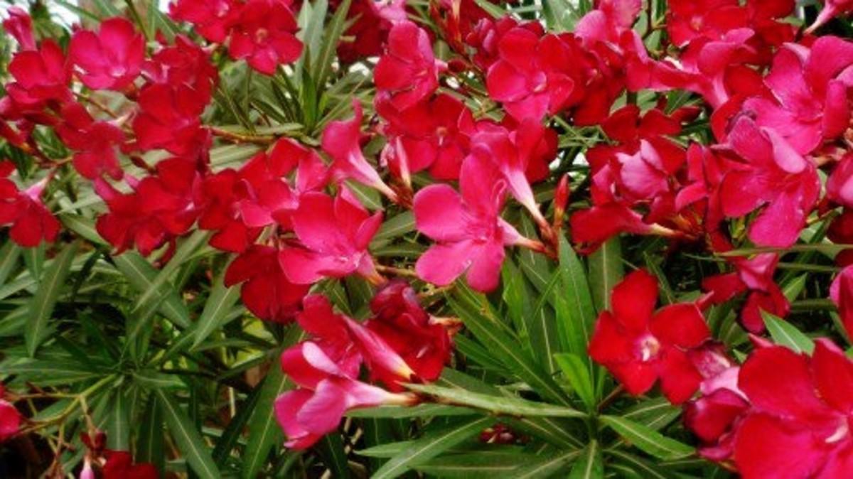 Oleanders in bloom