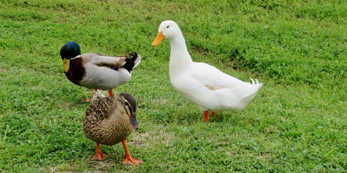 Mallard & Peking Ducks