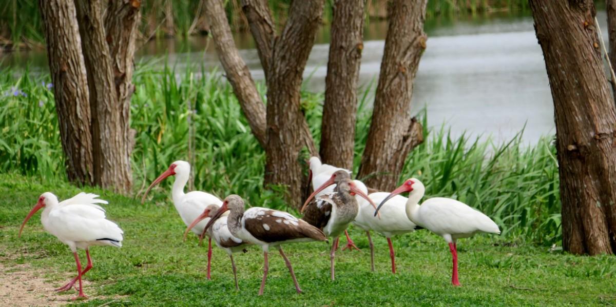 White Ibis birds at Seabourne Lake
