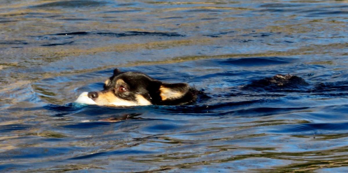 Dog swimming while retrieving a ball in Congressman Bill Archer Park