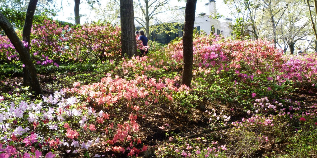 Pretty Azaleas in Bloom