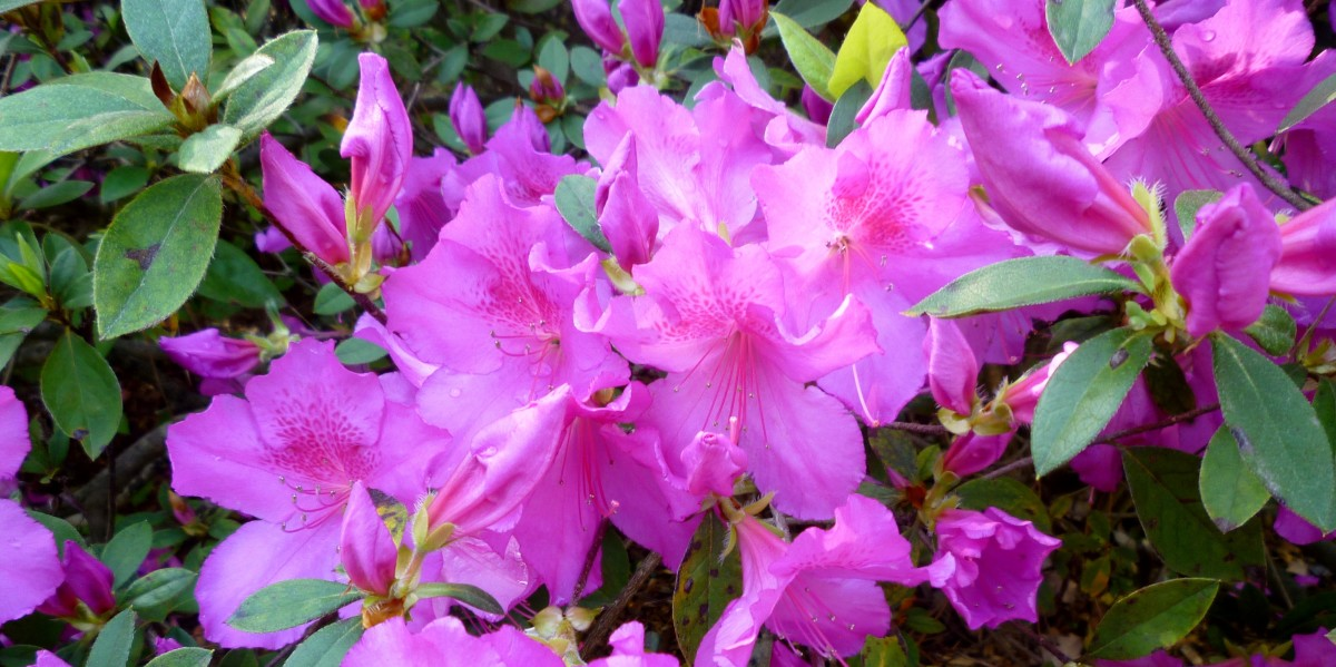 Photo of azaleas