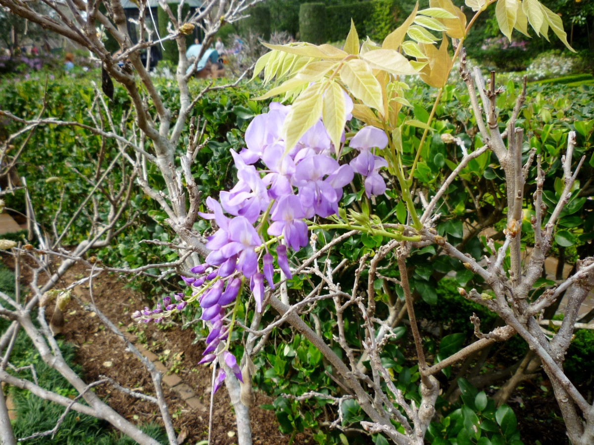 Wisteria starting to bloom