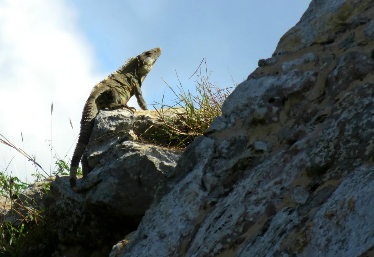 An iguana at Dzibilchaltún in Mexico