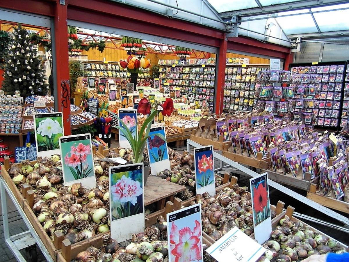 Tulip bulbs from Amsterdam.