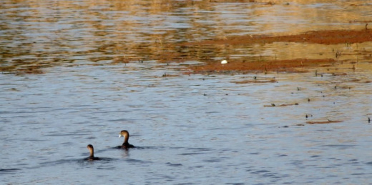 Two anhingas in the water at Willow Fork Park
