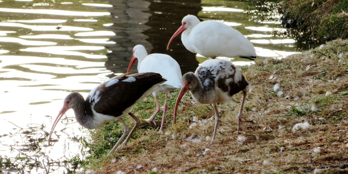White ibis birds