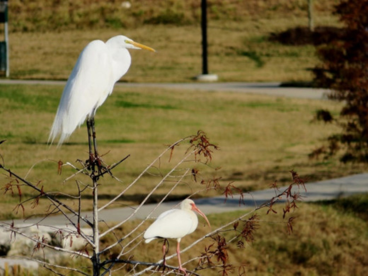 Great Egret at the top and an American White Ibis