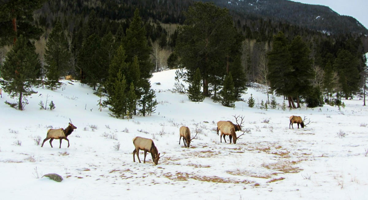 Elk in the snow at Rocky Mountain National Park
