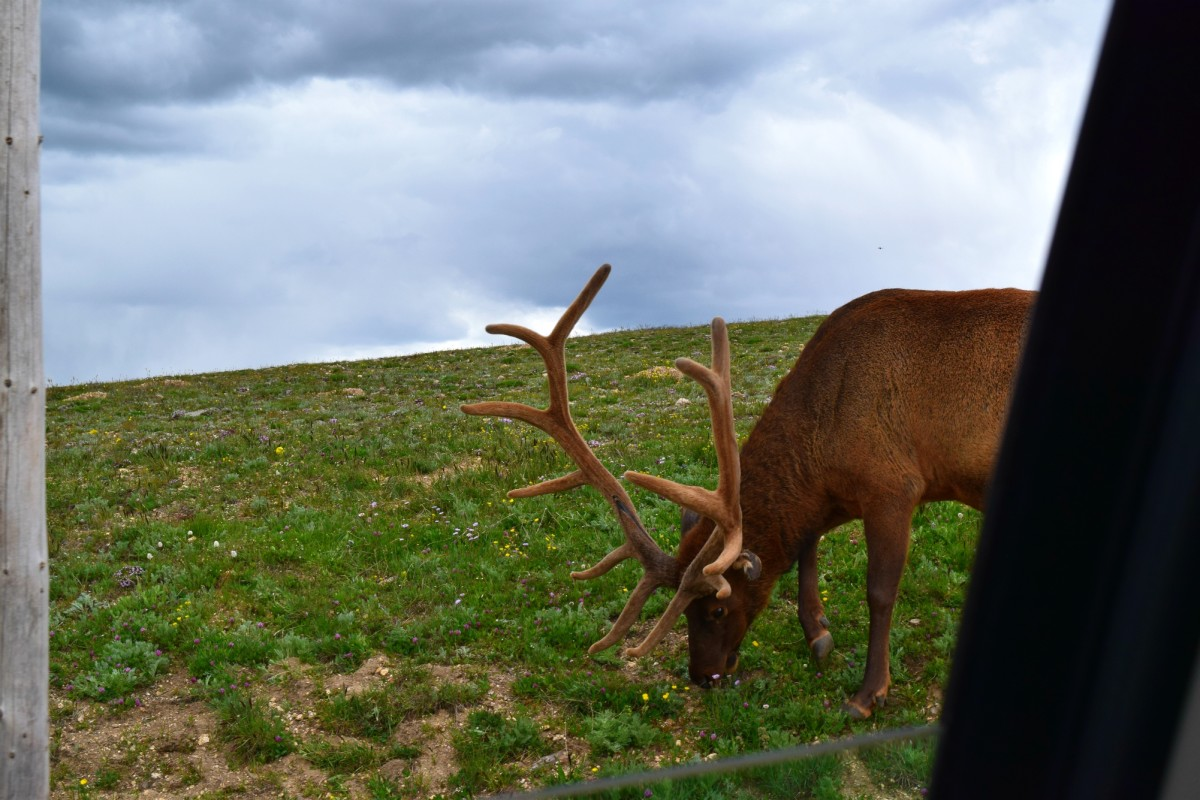 An elk above the tree line during the Summer. This photo was taken through a car window from the roadside.