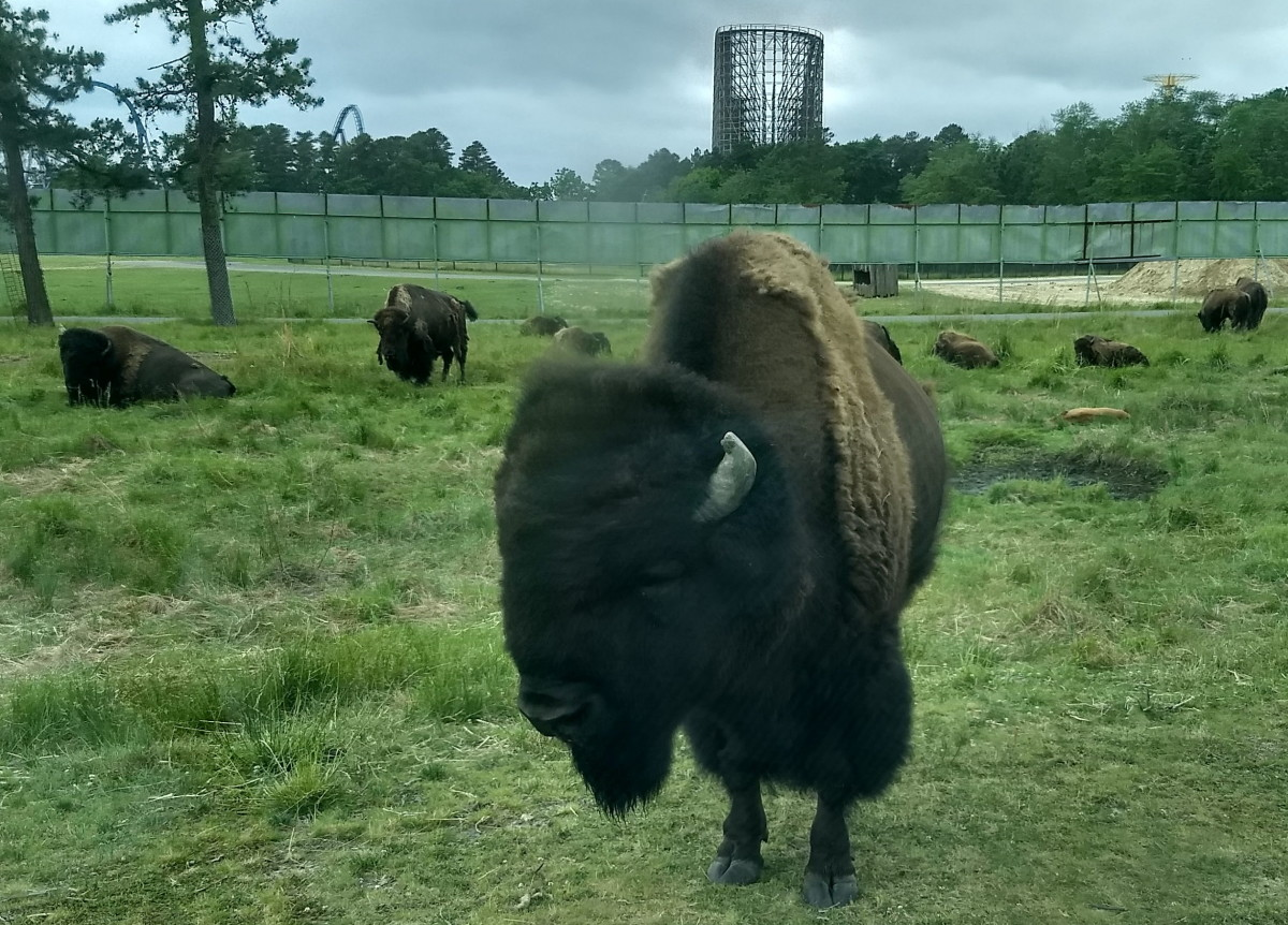 Bison in the Americas section of Great Adventure Six Flag's Safari Land, with the amusement park's closed roller coasters in the background.