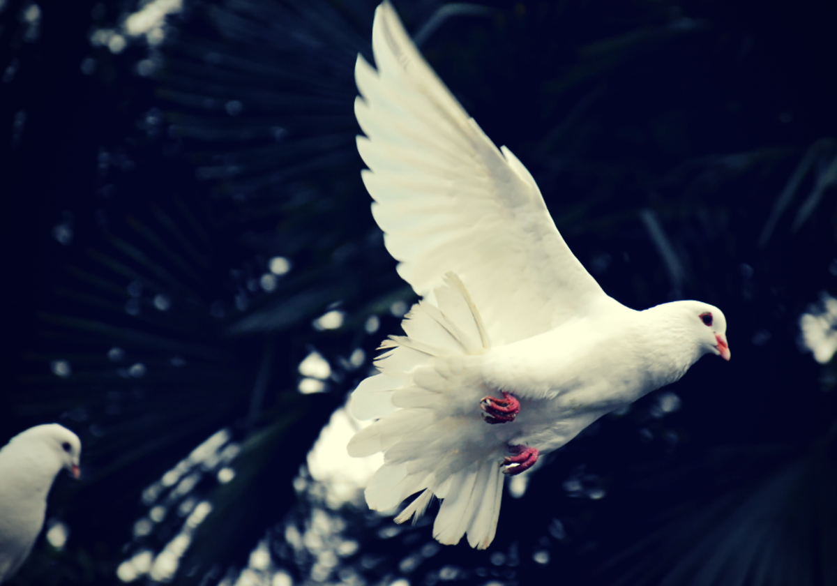 In many cultures, doves have been important religious and spiritual symbols.