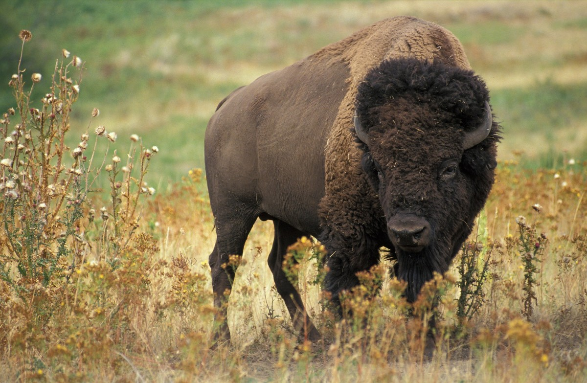 The buffalo represents a strong, goal-oriented personality.