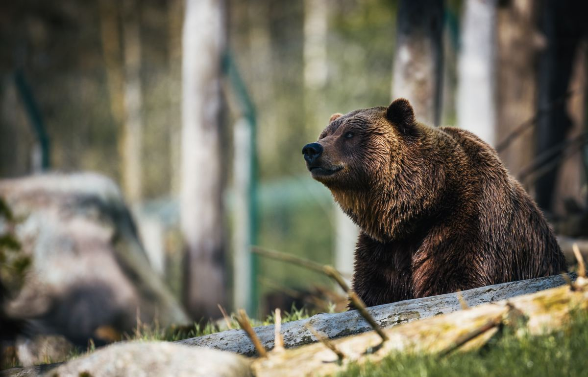 Bears are wise, protective, and incredibly strong.