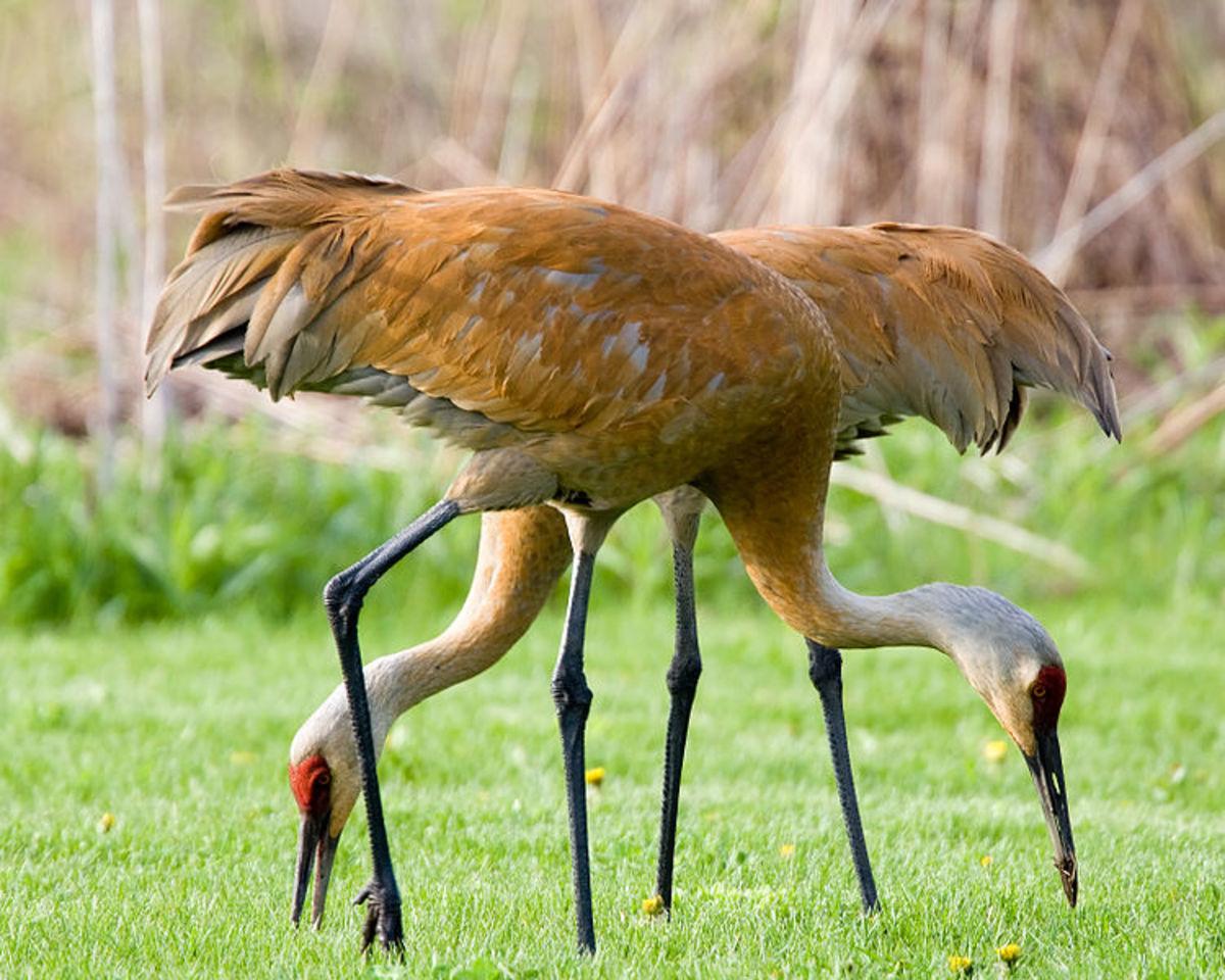 Sandhill cranes in Wisconsin.