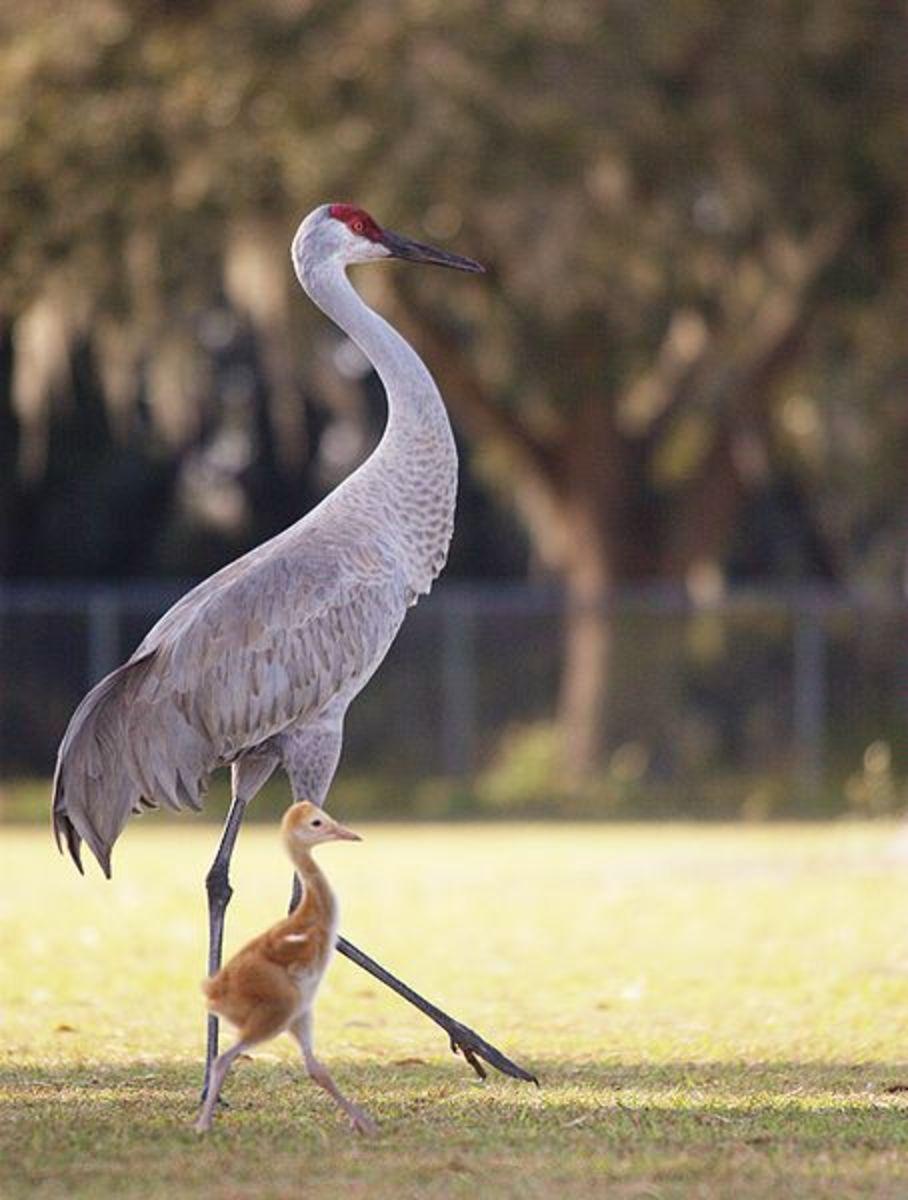 A sandhill crane and chick.