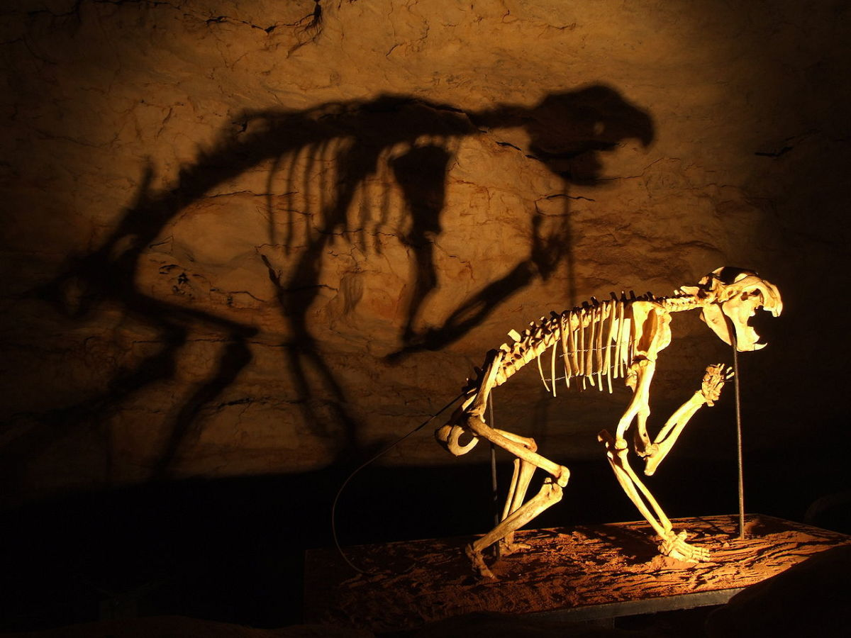 Is the Marsupial Lion Thylacoleo Carnifex responsible for sightings in Australia?