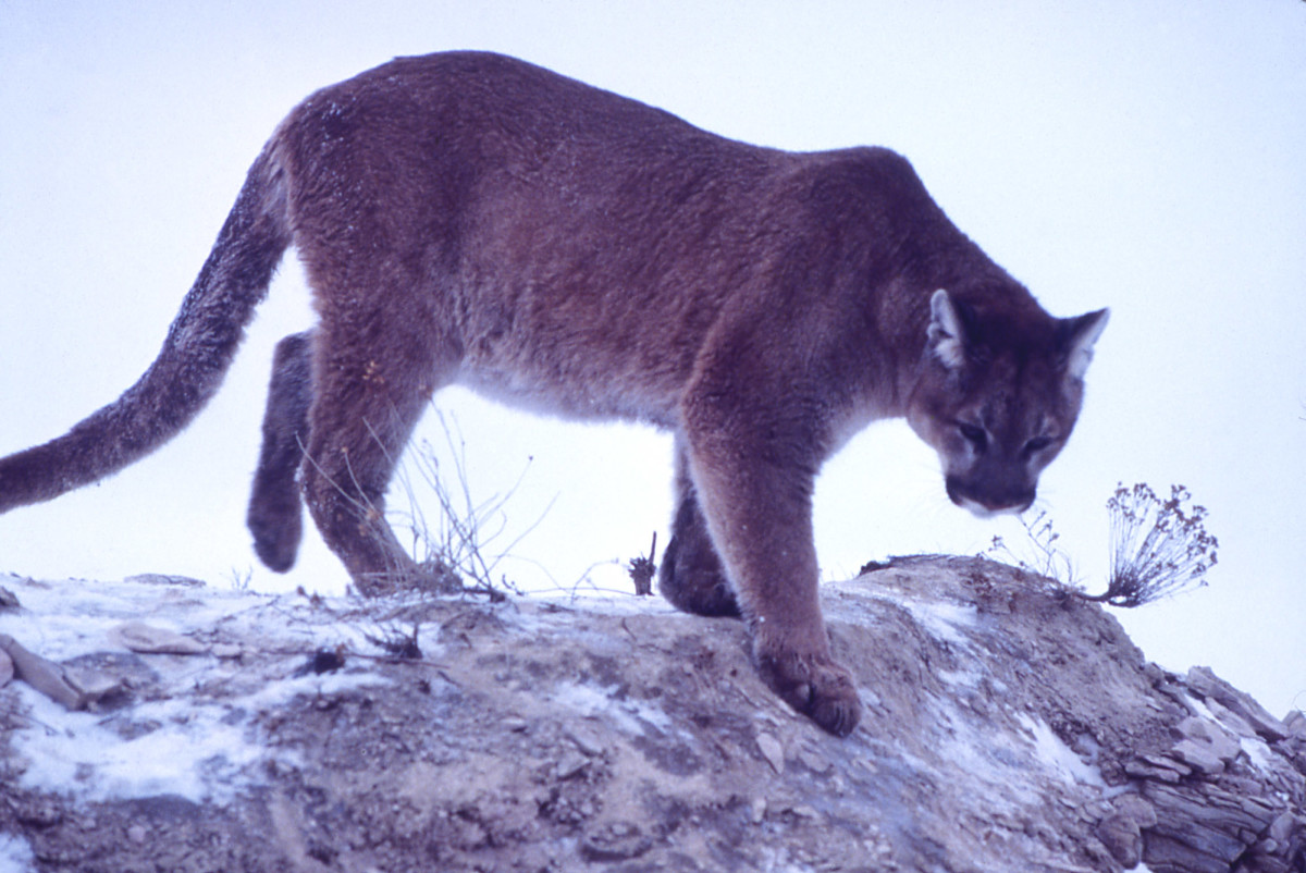 Do cougars account for Phantom Cat sightings in the US?