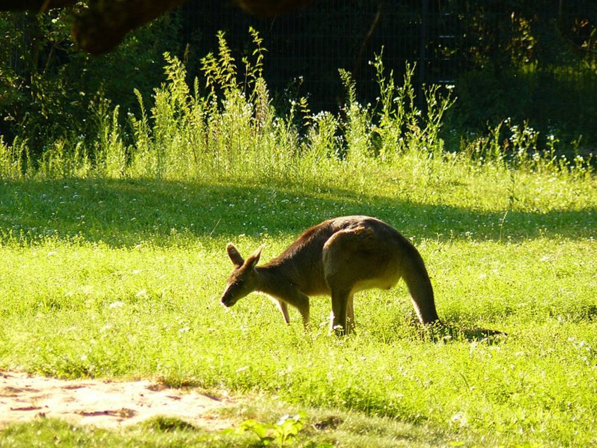 A kangaroo grazing in a field shares a vague resemblance with a deer.