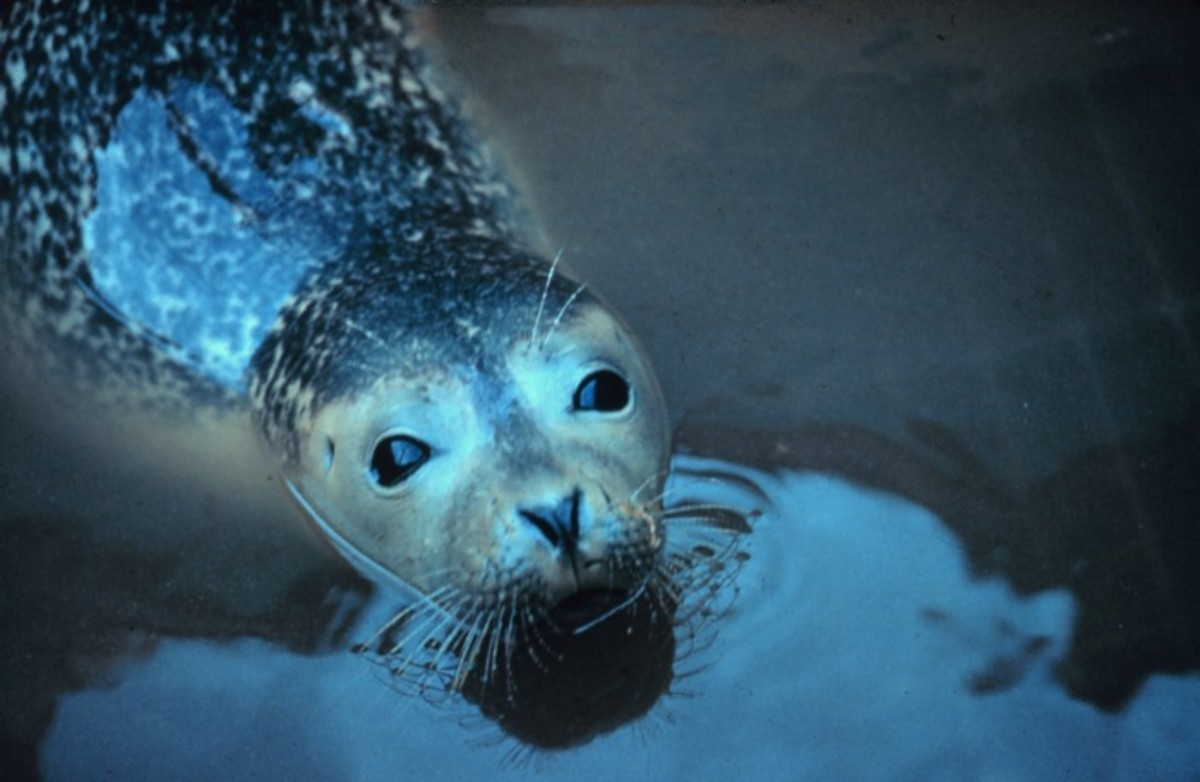 The occasional presence of seals is one of the theories to explain the Loch Ness Monster