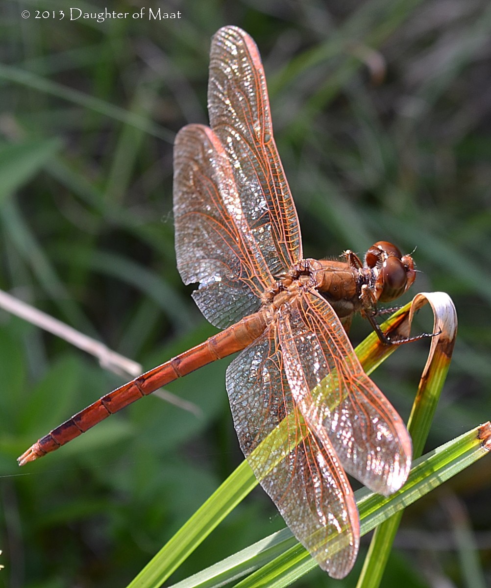 Dragonflies are well known spirit guides and symbols to Asian and Native American Cultures.