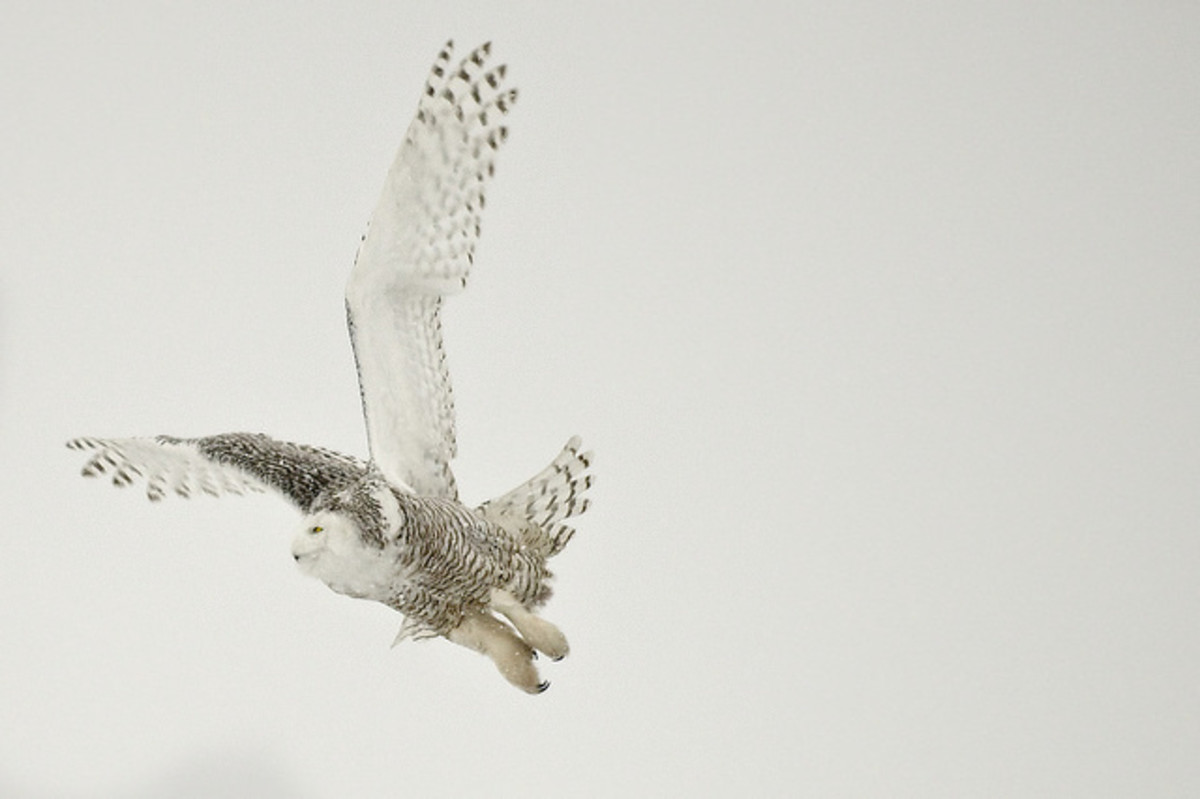 A snowy owl in flight. Owls are most frequently seen at night, although some species are active during the day.