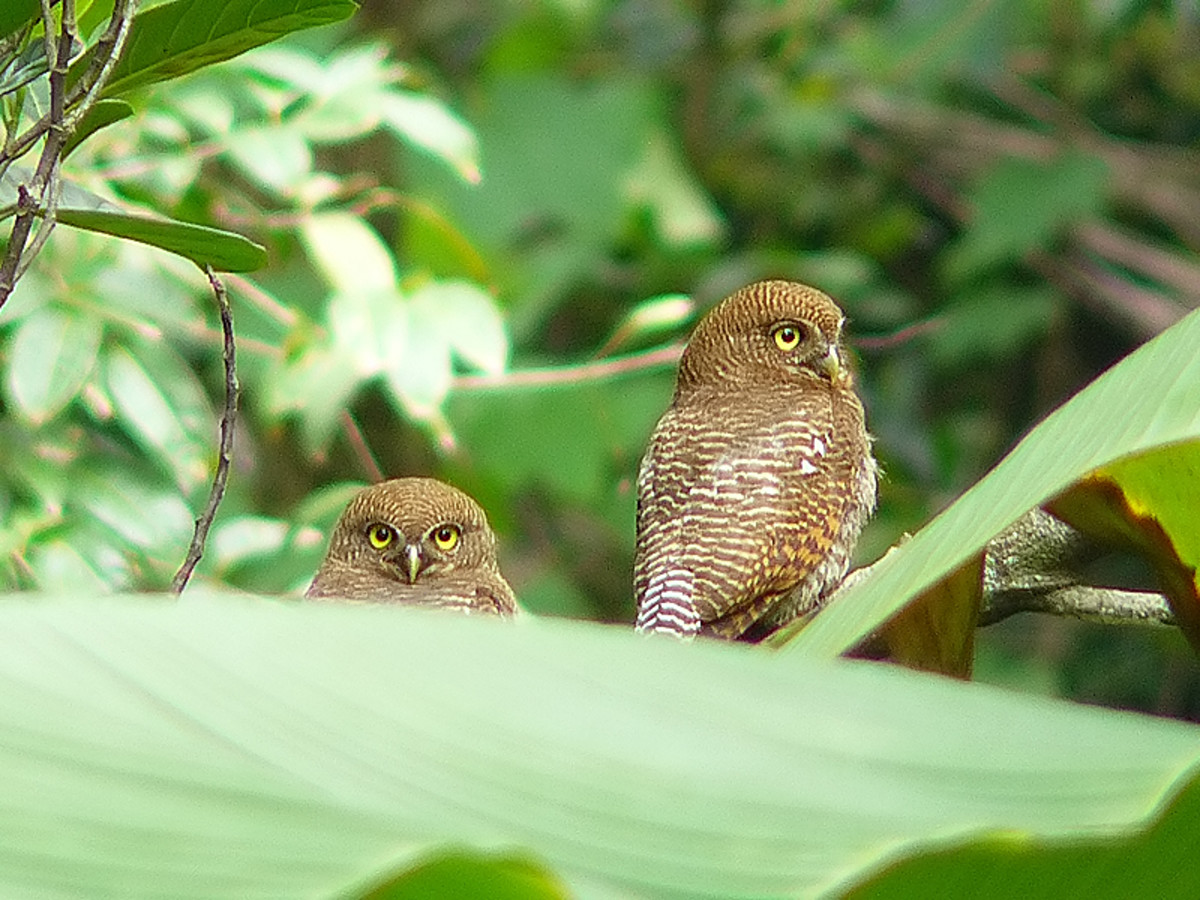 Two owlets near a banana tree.