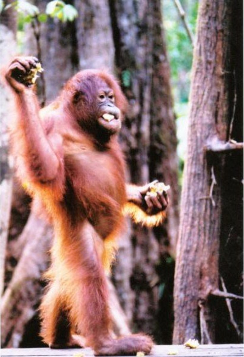 Orangutans can look remarkably human.  Does this explain Orang Pendek?