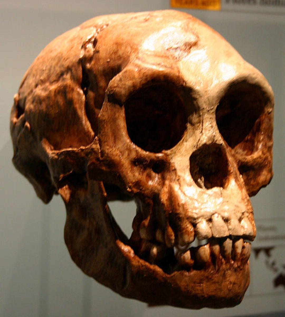 The skull of the Hobbit