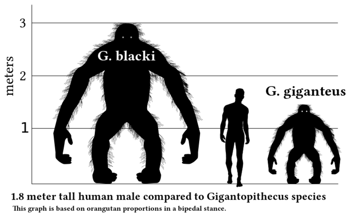 Gigantopithecus Blacki was the largest ape that every lived and would tower over a human.