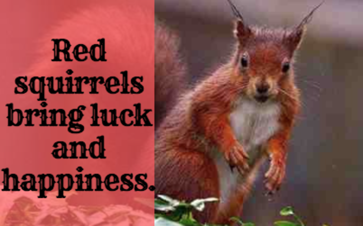 The red squirrel is a good luck omen.