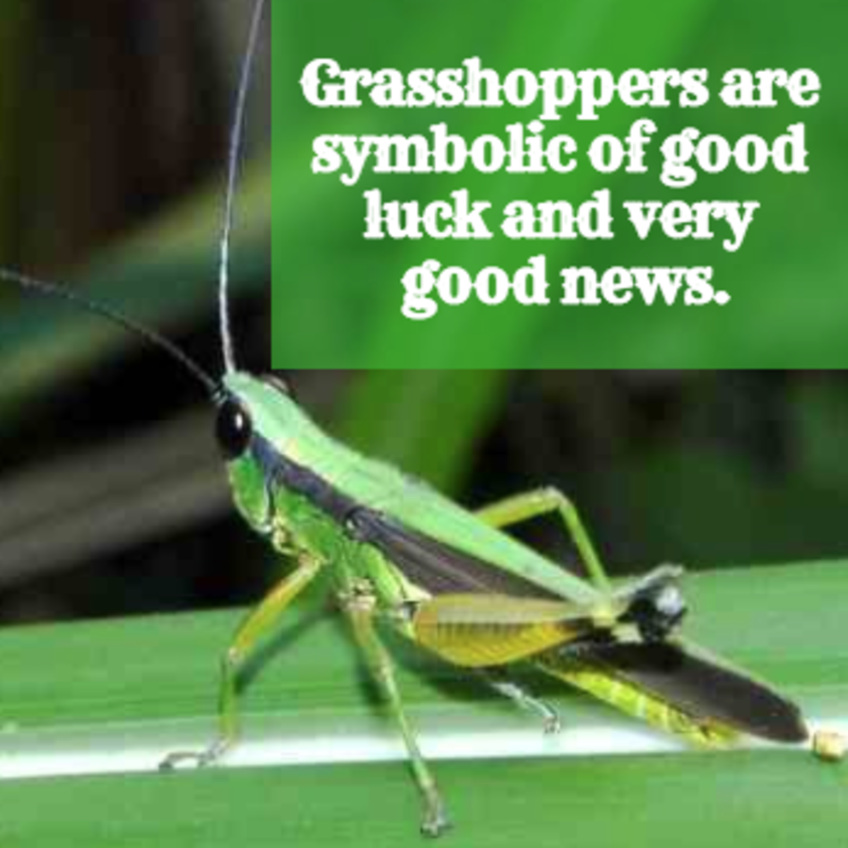 Grasshopper are signs of good luck.