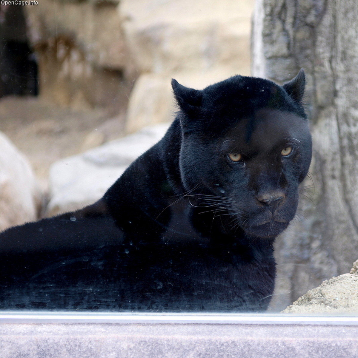 The Beast of Bladenboro is often said to look like an extremely large black panther.