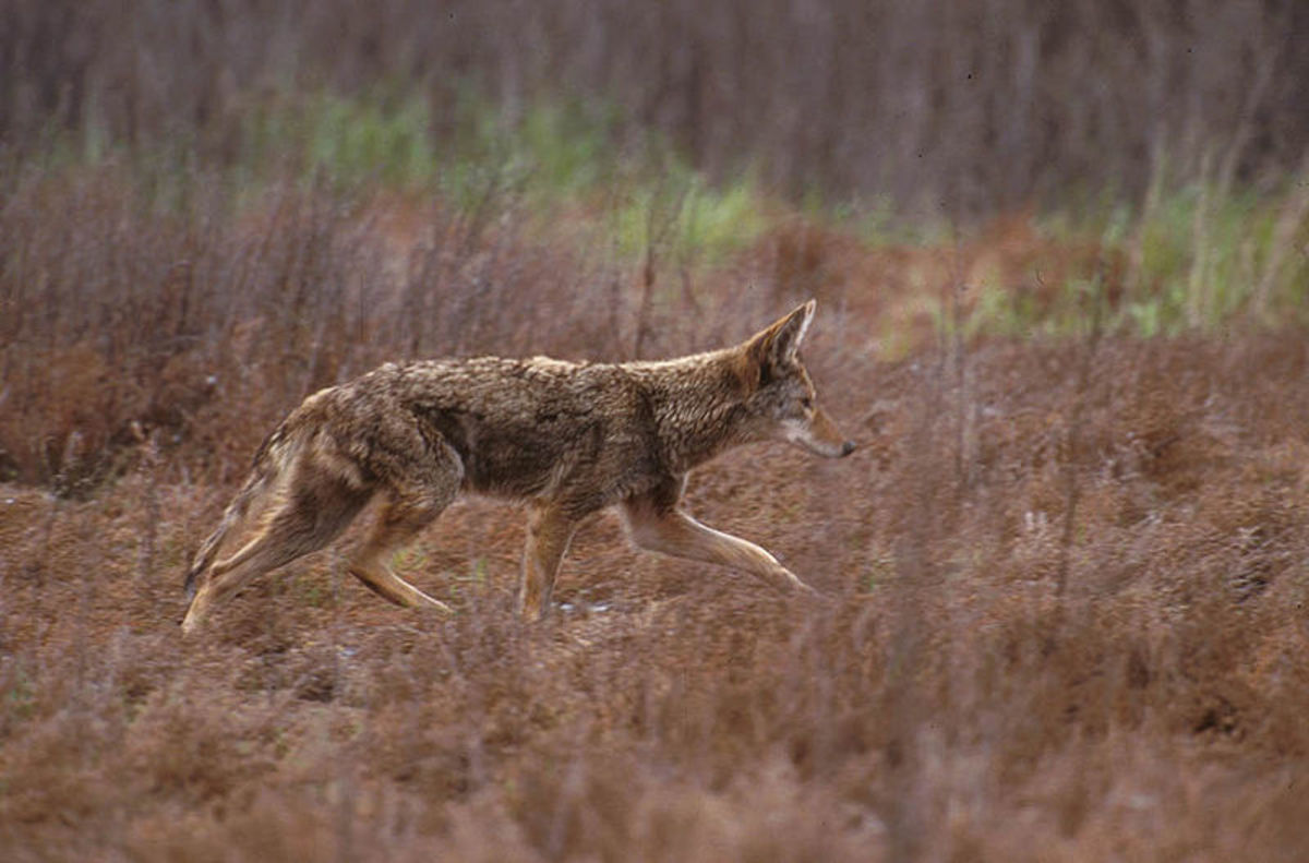 A healthy coyote. Would a diseased animal explain sightings of the chupacabra?