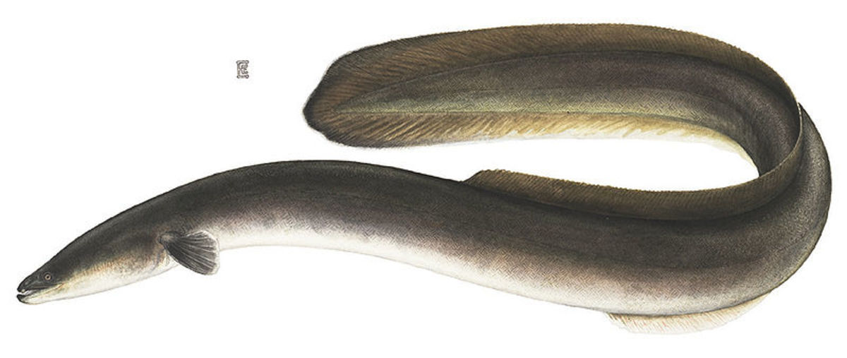 Some researchers think serpent-like North American monsters may actually be very large American eels, or perhaps a new species altogether.